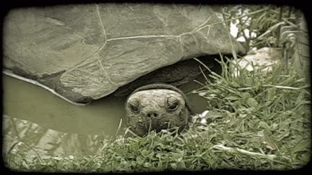narożnik : Turtle peeks its head out of a green, murky water ditch while its grey, partitioned shell rests above the water corner, which is surrounded by green folliage. Vintage stylized video clip.