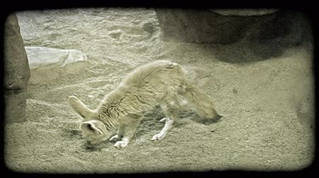 captivity : Small light yellow and white-colored fox with tall ears sniffs and paws at sandy ground near rocks in captivity at a zoo. Vintage stylized video clip. Stock Footage