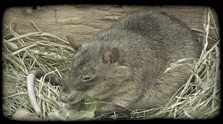 vivo : Light black and grey rat sits by rock on top of dry grass and eats lettuce in captivity in a zoo. Vintage stylized video clip.