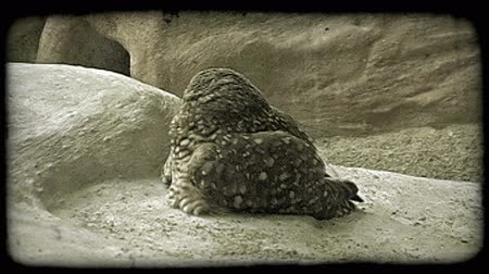 vivo : Beautiful, round brown speckled owl sits complacently atop girty rocks in captivity at a zoo, and looks around it with wide-eyes. Vintage stylized video clip. Stock Footage