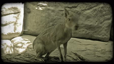 króliczek : Large jack rabbit or jackaroo with light brown fur sits perched on top of a woody ledge, looks around, and then jumps down from the ledge while in captivity at a zoo. Vintage stylized video clip. Wideo