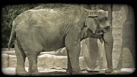 állatkert : Grey elephant with tall back covered with small pieces of hay, stands on hay while it chews, swings its tail, and plays with its trunk while in captivity at a zoo, with fake rocky background and tree in background left. Vintage stylized video clip.