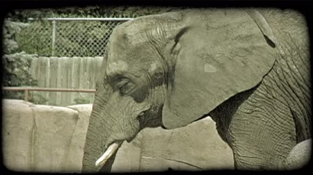 tek başına : Grey elephant looks slowly around while in captivity at a zoo, with fake rocky surroundings, roof, and fences in background. Vintage stylized video clip.