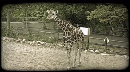 tahıllar : Wide shot of brown and white colored giraffe as it chews and slurps its food, sticking out its tongue as it eats while in captivity at a zoo, with green forage trees, walkway, retaining wall, fence, and dirt in background. Vintage stylized video clip.