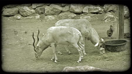 captivity : Two white mountain goats with wavy horns eat shredded grass, quiver, and one walks away from other in captivity at a zoo with rock in foreground and duck and rocky retaining wall in background. Vintage stylized video clip. Stock Footage