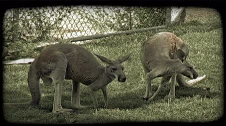 étkezési : Two medium-sized kangaroos with tan and red fur stand next to each other on green grass near a fence while they eat the grass and look around, while in captivity at a zoo. Vintage stylized video clip. Stock mozgókép