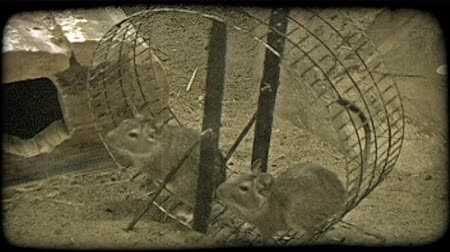 mysz : Two brown mice run together on circular spinning wheel for exercise in a cage in a zoo. Vintage stylized video clip.