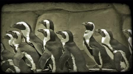 captivity : Medium shot of many black and white penguins as they waddle right to left along fake rock edifice with identity patches on their wings near a pool at a zoo. Vintage stylized video clip.