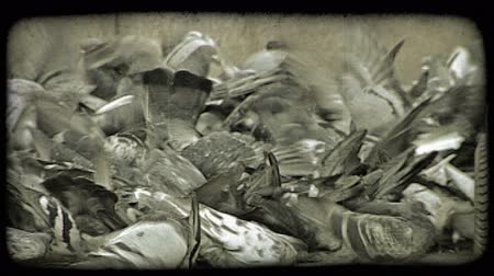 объекты : A flock of pigeons peck at crumbs left for them on the ground. Vintage stylized video clip.