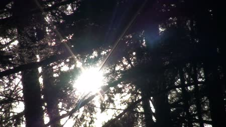 alasca : Shot of the sun through pine tree branches in Ketchikan, Alaska.