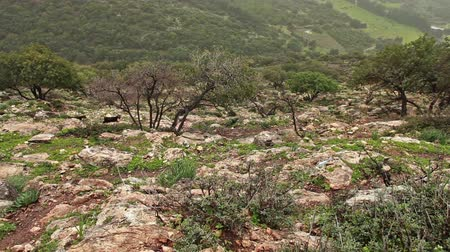 пастушка : Goats crossing left to right along the the steep mountain slope in the Adamit Park region in Israel, being herded by an Israeli Arab woman. Near the Adamit Park region of Israel.