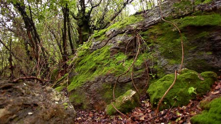flanked : Slider dolly move up the hillside in the Iyon Tanur river gorge in Israel. The focal point of the shot is a giant moss covered boulder, flanked by thin tree trunks and surrounded by the grassy forest floor. Stock Footage