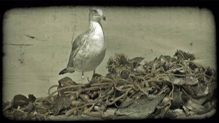 chaluha : Seagull stands confidently and looks around near a pile of dried up seaweed on a beach along the California Pacific. Vintage stylized video clip.