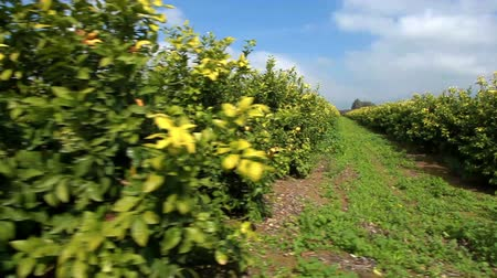 citrón : Drive by shooting of a lemon orchard in a fertile valley in Israel.