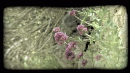 tahıllar : A shot of some purple flowers in Italy. Vintage stylized video clip.