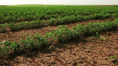 dirt : Dolly shot from left to right across a green cultivated bean field planted in dry, cracked soil in Israel.
