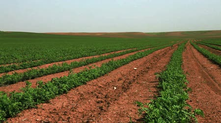 talaj : Wide pan, right to left, of rows of green cultivated bean plants, planted in the soil of Israel. Stock mozgókép