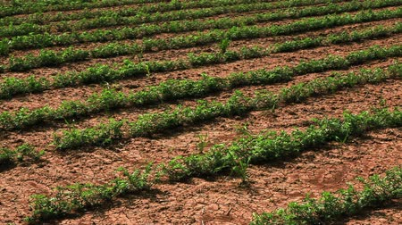 száraz : Pan left to right of rows of soy bean plants,planted in the dry cracked soil of Israel.