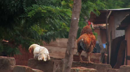 tyúk : A chicken and a rooster sitting on a rock wall, at the end of the clip the rooster crows.