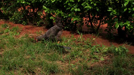 tyúk : A chicken walks surrounded by green and brown in Ghana. Stock mozgókép