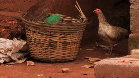 tyúk : A chicken in a village in Ghana looks around by a basket then runs off followed by a baby chick.