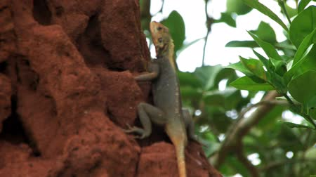 hayvan kafa : An african lizard sits on a large termite hill in Ghana. Stok Video