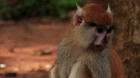jíst : Close up of sitting african monkey.