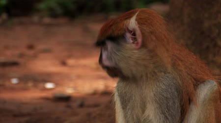 roedor : Close up of african monkey nibbling on some food. Vídeos