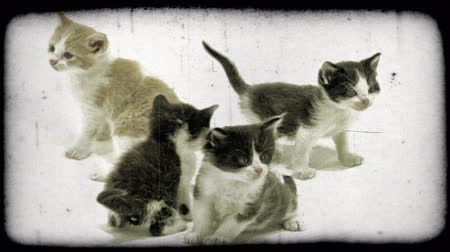 прижиматься : Four little kittens, one with tan and white colored fur and three with white and black colored fur, play together and look in the same direction in white studio setting. Vintage stylized video clip. Стоковые видеозаписи