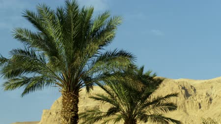 dead tree : Ein Gedi Israel area, shot facing west toward the barren mountains. Palm trees swaying in the breeze in the foreground.  Stock Footage