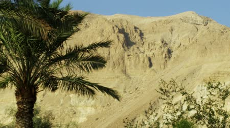vaha : Ein Gedi Israel area, shot facing west toward the barren mountains. Palm trees swaying in the breeze in the foreground. Stok Video