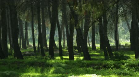pan : Pan left to right of tree trunks and green carpeted forest floor in the Ein Harod region of Isreal Shot with the Red One digital camera at 4k 4096 x 2304 resolution. 02232011