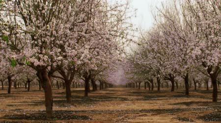 talaj : Medium wide shot of an orchard full of pink and pearl blossoms in Israel. Shot with the Red One digital camera at 4k 4096 x 2304 resolution. 02252011