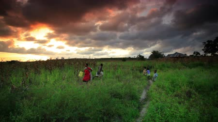 kukuřice : A cornfield at sunset near a village in Kenya two hours north of the African city Mombassa.