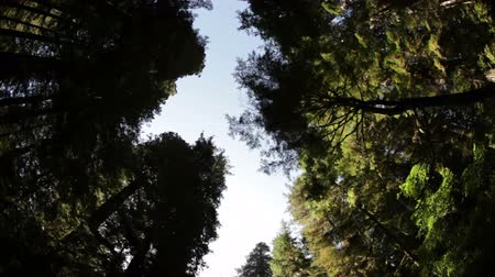ladin : Low shot driving through pine forest looking up to the trees canopies. Light blue sky contrasts the dark green trees. California.