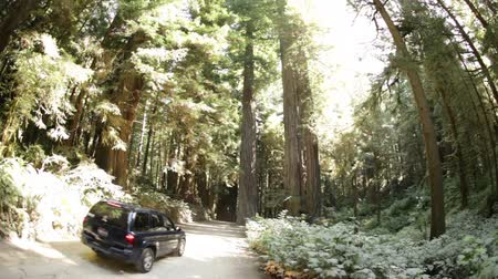 kapradina : Stationary shot of small SUV driving on dirt road through dense pine trees. Slight bowl effect. California.