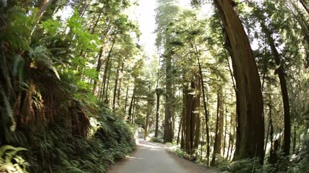 át : Driving down dirt road through dense pine trees and ferns. Wide-angle. California.