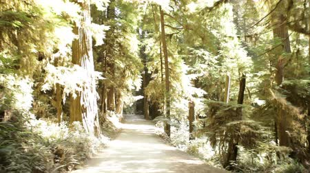 árvores : Driving down dirt road through dense pine trees and ferns. California.