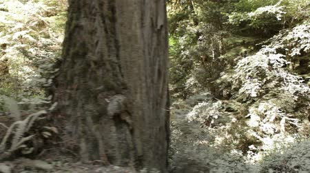 kapradina : Drive by of low pine trunks and growth in forest, shows depth in forest. California. Dostupné videozáznamy