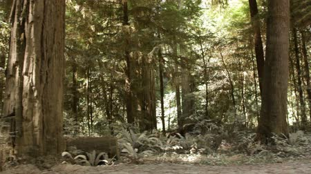 świeżość : Drive by of low pine trunks and growth in forest, shows depth in forest. California. Wideo