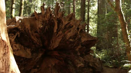 caído : Forward shot of end of massive fallen pine tree. California.
