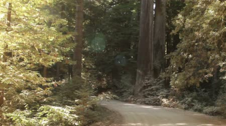 gigante : Tracking down paved path in a redwood forest. California.