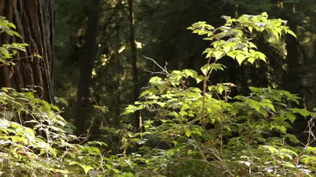 kapradina : Mid-shot pan of plants on redwood forest floor catching sunlight. California. Dostupné videozáznamy
