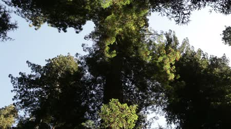 crescimento : Low shot looking up at thick growth at top of tall pine tree. Redwood. California.