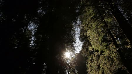 crescimento : Low angle tracking shot through tall, dense redwood forest. Sharp contrast of bright sun and dark trees. California. Stock Footage