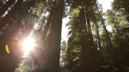 nemzeti : Low angle tracking shot through tall, dense redwood forest. Sharp contrast of bright sun and dark trees. California. Stock mozgókép