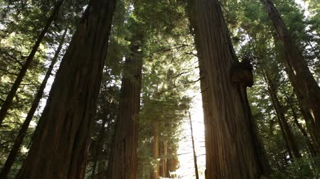 solo : Small, low-angle forward shot of tall redwood trees. California.