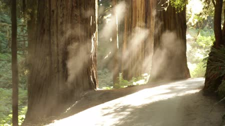 jungle : Stationary shot of lower trunks of redwood trees by a road. The sun is catching in dust rising and floating from the road. California. Stock Footage