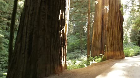 nemzeti : Slow tracking down paved path in a redwood forest around mid-day. California.