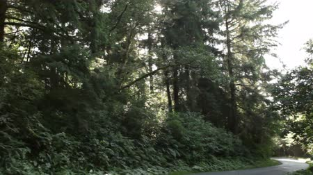 государство : Fast tracking and zoom down a paved road in a pine forest. Lots of fern and undergrowth. California.